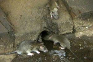 Andere aanwijzing om te starten met ratten bestrijden: een rattenhol