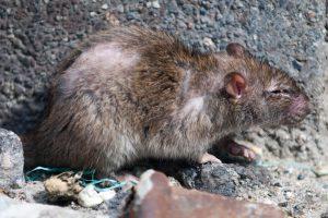 Bruine ratten bestrijden komt het meest voor in Nederland.