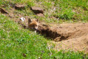 Jong vosje in vossen burcht