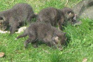 Jonge vossen bestrijden
