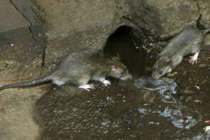 Ratten tussen afval