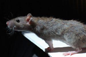 Ratten bestrijden Drenthe