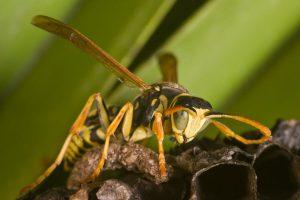 Wespenbestrijding in Oosterwolde