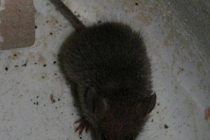 Wees op tijd met de bestrijding van muizen