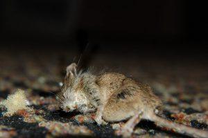 Dode muis