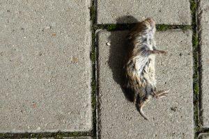 Dode muizen kunnen veel ziektes overbrengen