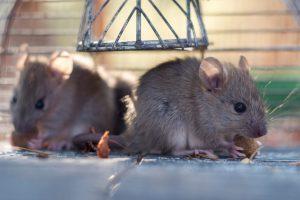 Jonge muizen