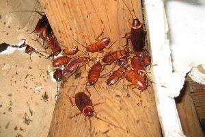 kakkerlakken maken de boel stuk