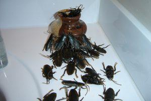 kakkerlakplaag bestrijden