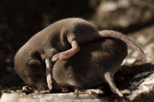 Pasgeboren muizen